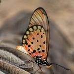 Papillon-,-04-2014-,-Viviane-FARGEOT