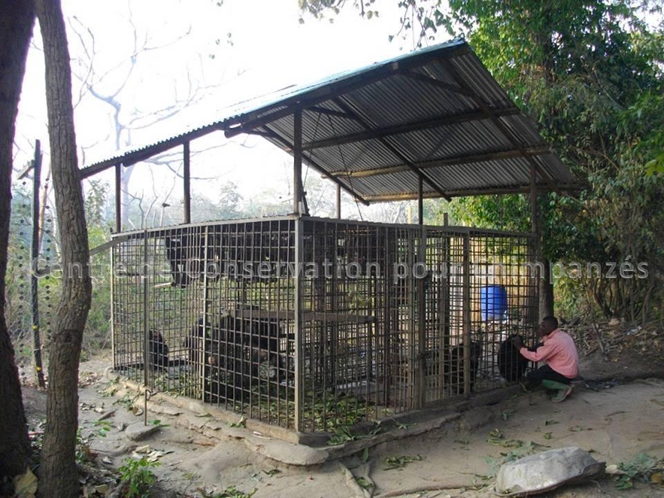 Le nouveau toits du groupe des chimpanzés juvéniles