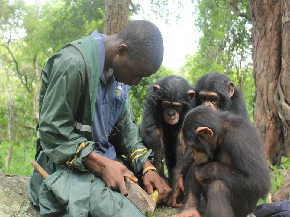 Un soigneur apprend à 3 chimpanzés comment casser des fruits.