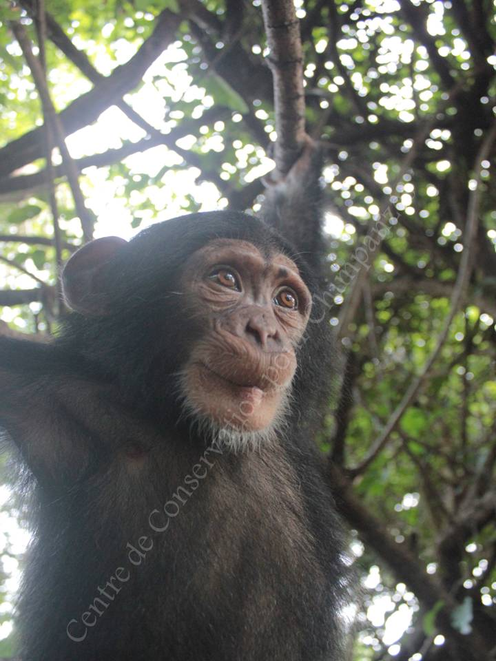 Missy, une jeune chimpanzé du CCC, en pleine démonstration de grimace!