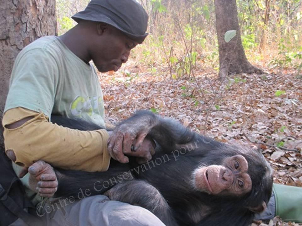 Un soigneur épouille un chimpanzé