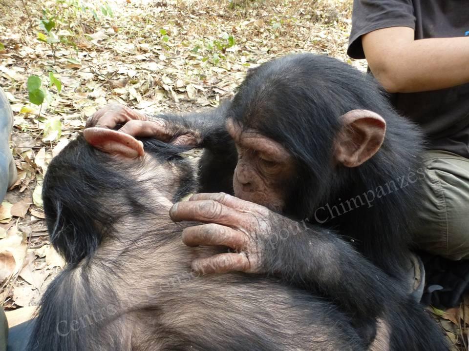Des chimpanzés qui s'épouillent.