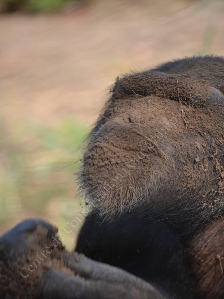 Chimpanzé se recouvrant de terre.