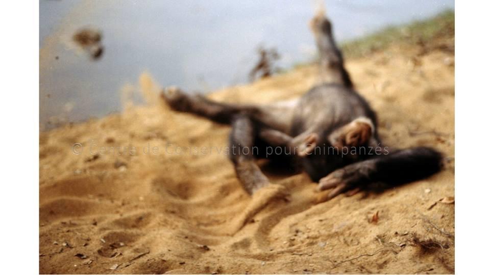 chimpanzé dans le sable