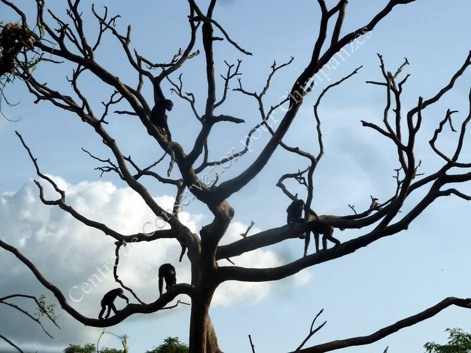 L'arbre à chimpanzés