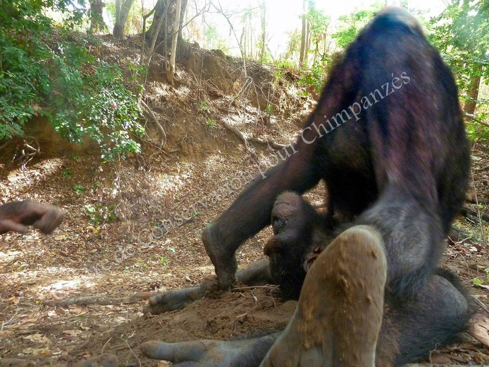 Un chimpanzé qui fait une galipette