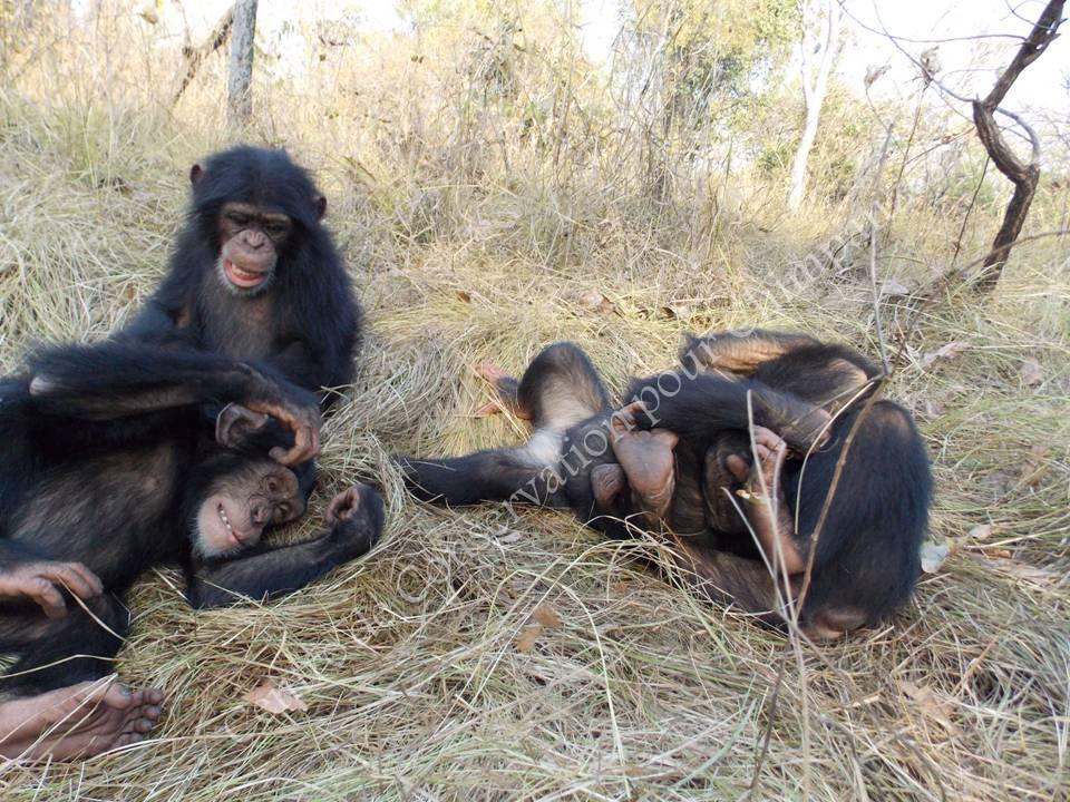 Groupe chimpanzés nursery