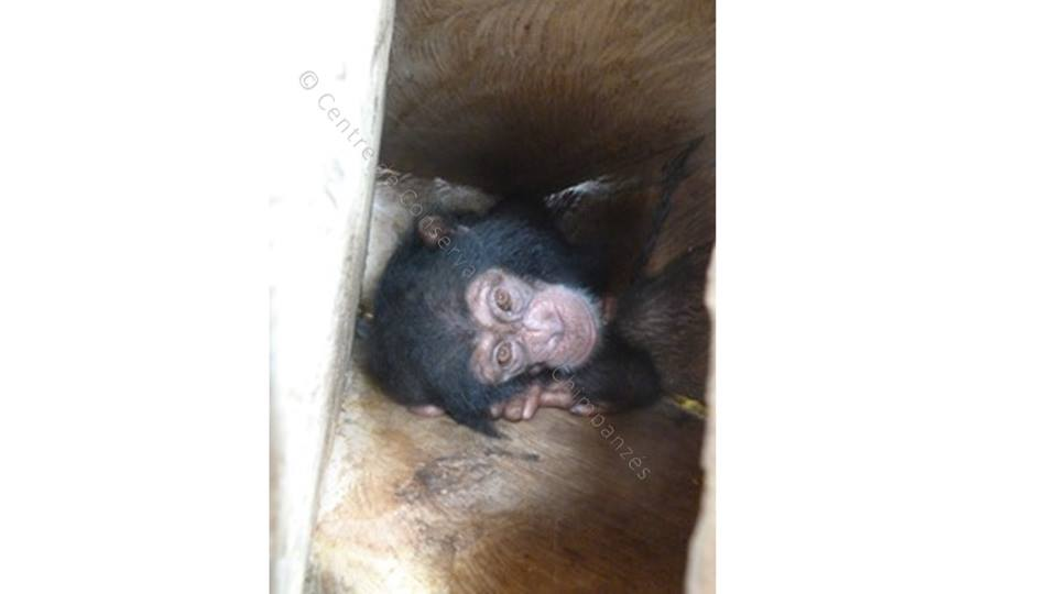 Bébé chimpanzé recueilli