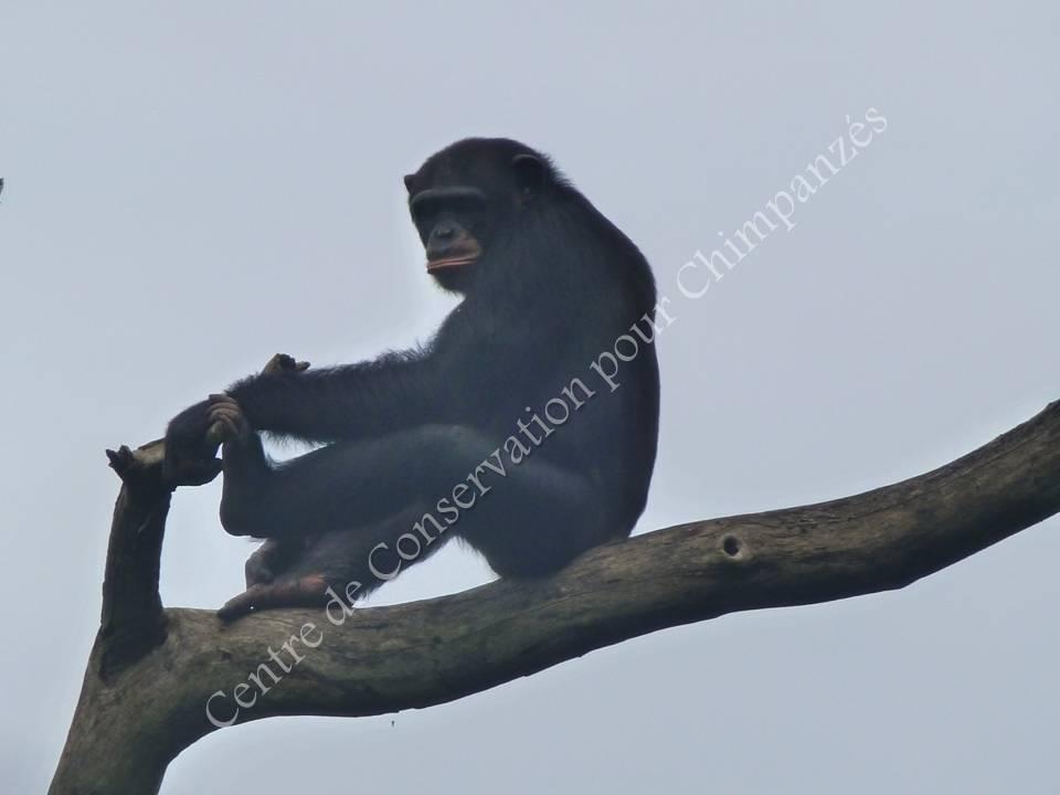Chimpanzé dans les arbres