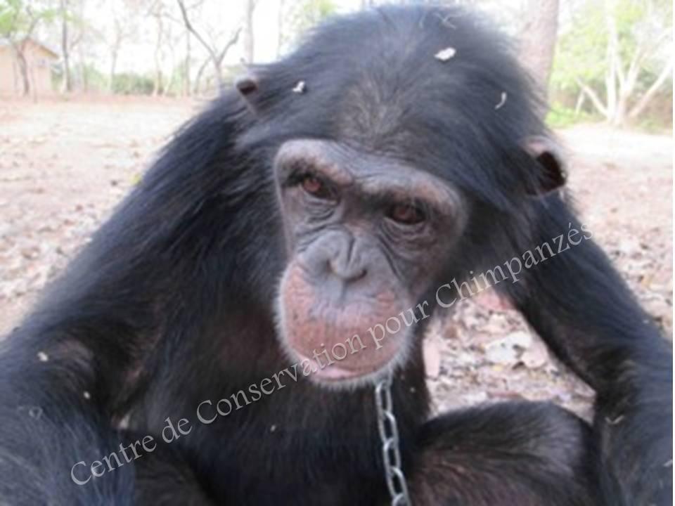 Femelle chimpanzé lorsque le CCC l'a écupérée
