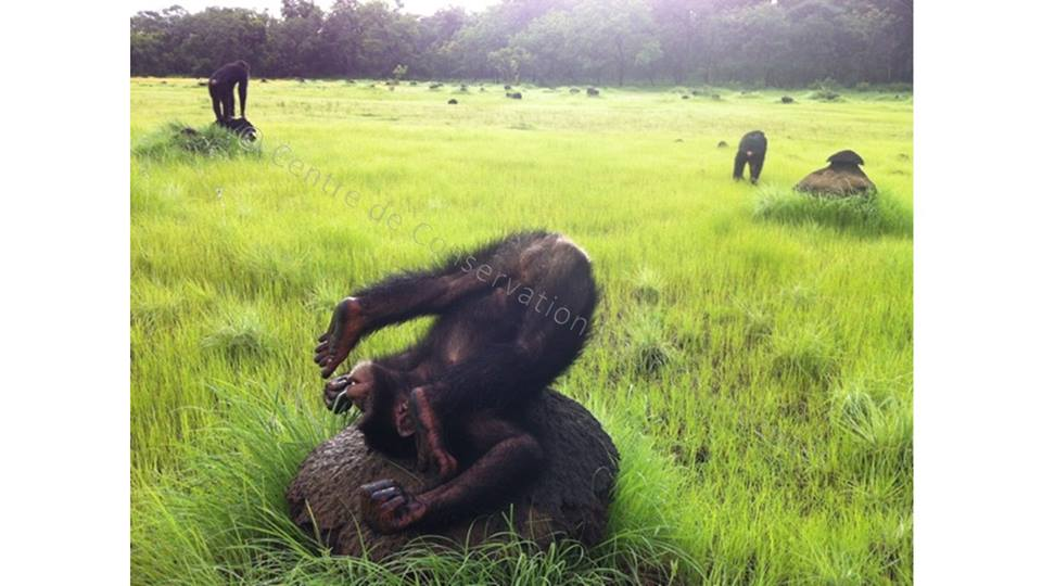 Chimpanzé qui fait une galipette