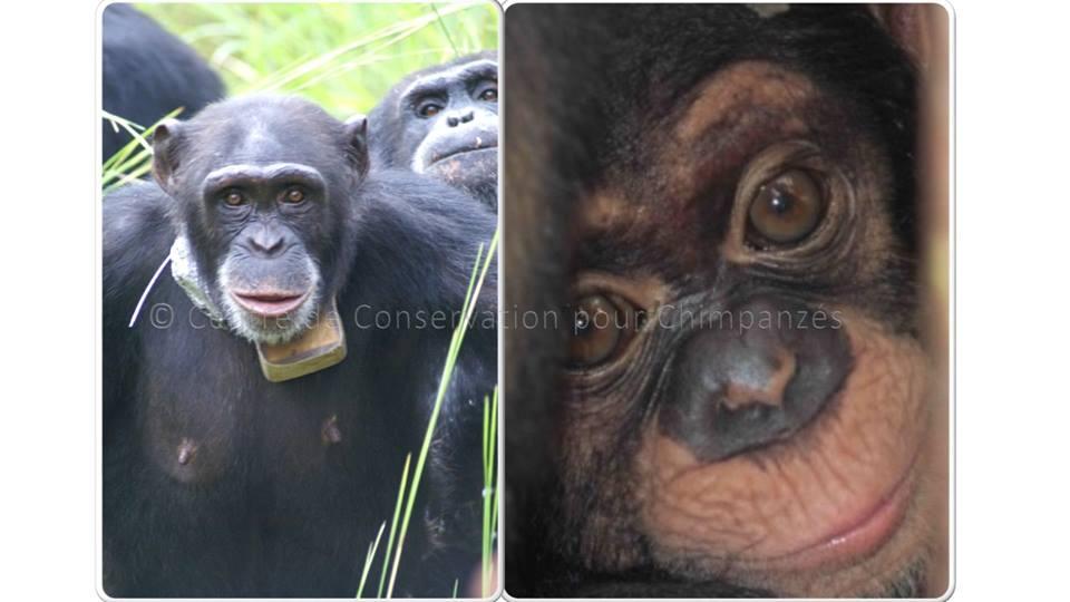 Femelle chimpanzé et son bébé