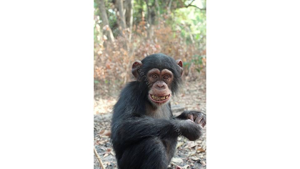 Chimpanzé qui mange