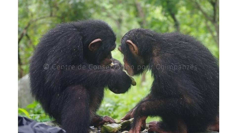 chimpanzés qui mangent