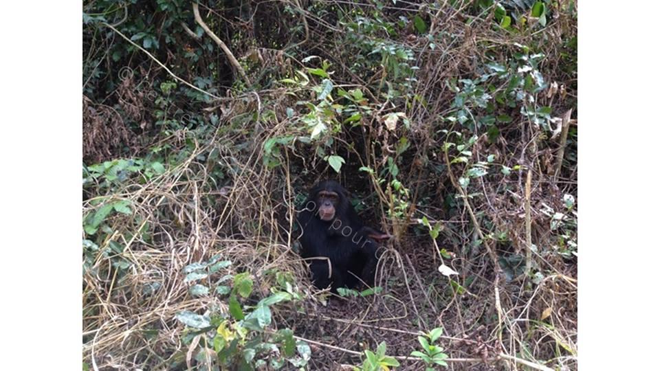 chimpanzé dans son enclos
