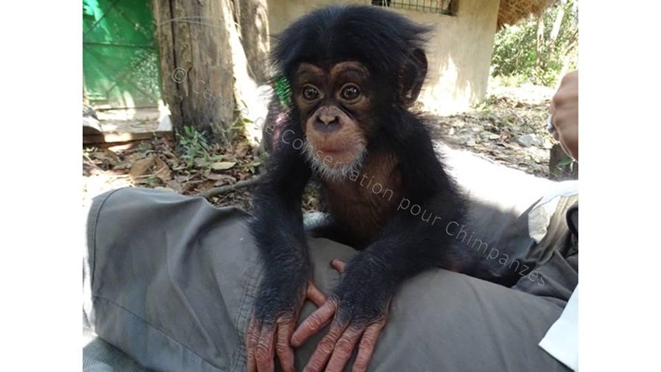 bébé chimpanzé