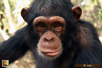 Nelson 4ans The Chimpanzee Conservation Center