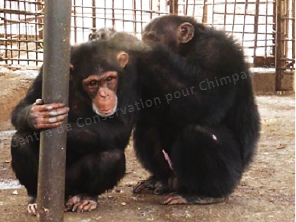 Séance d'épouillage entre Oga et Lily comme lien social Photo © C. Danaud/CCC