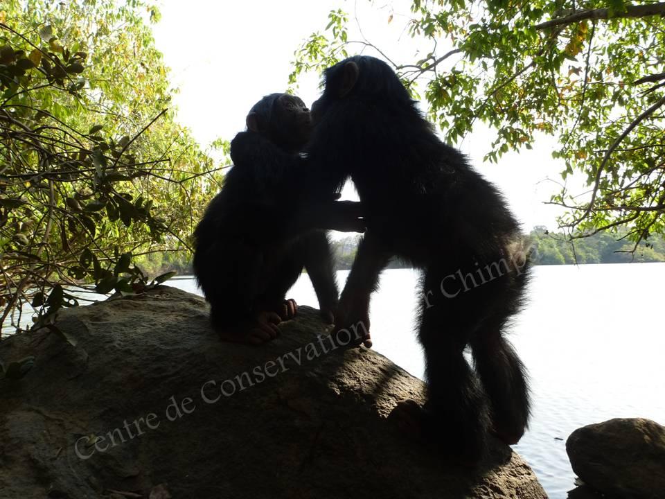 Deux chimpanzés prés du fleuve