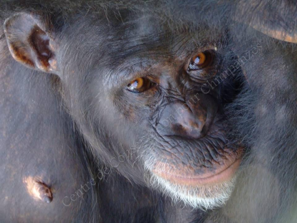 Femelle chimpanzé