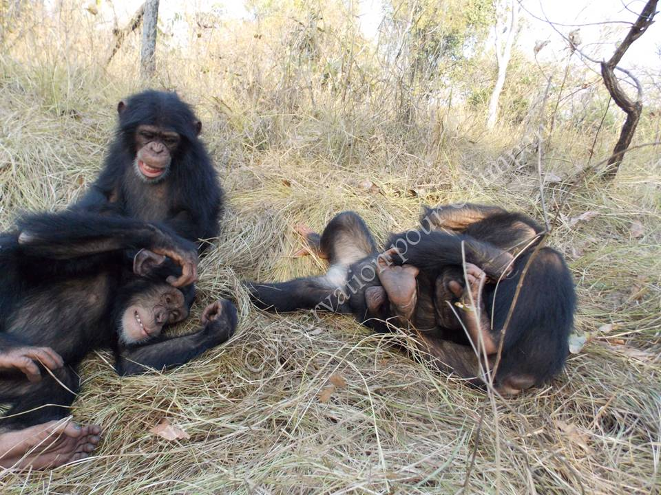 Groupe chimpanzés nursery
