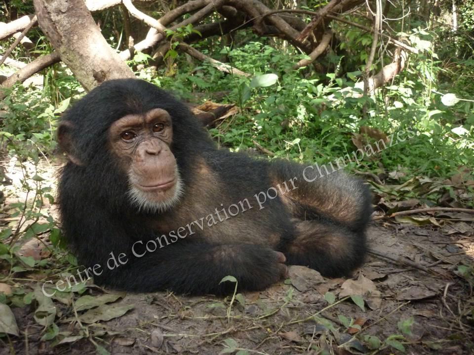 Chimpanzé allongé