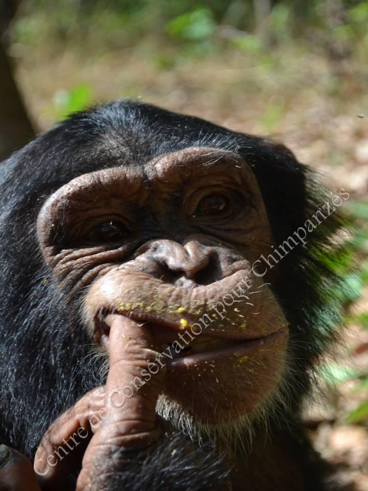 Jeune femelle chimpanzé