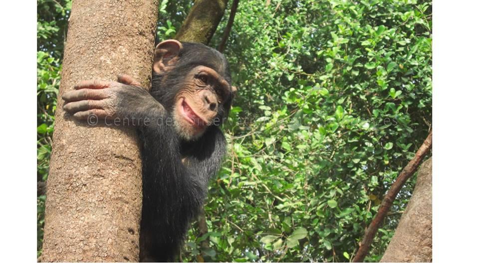 chimpanzés dans un arbre