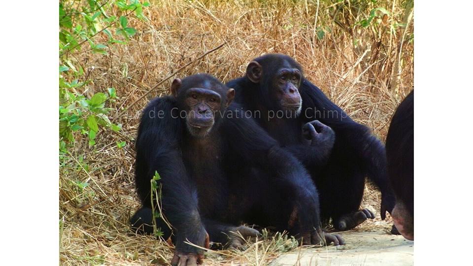 chimpanzés males dominant