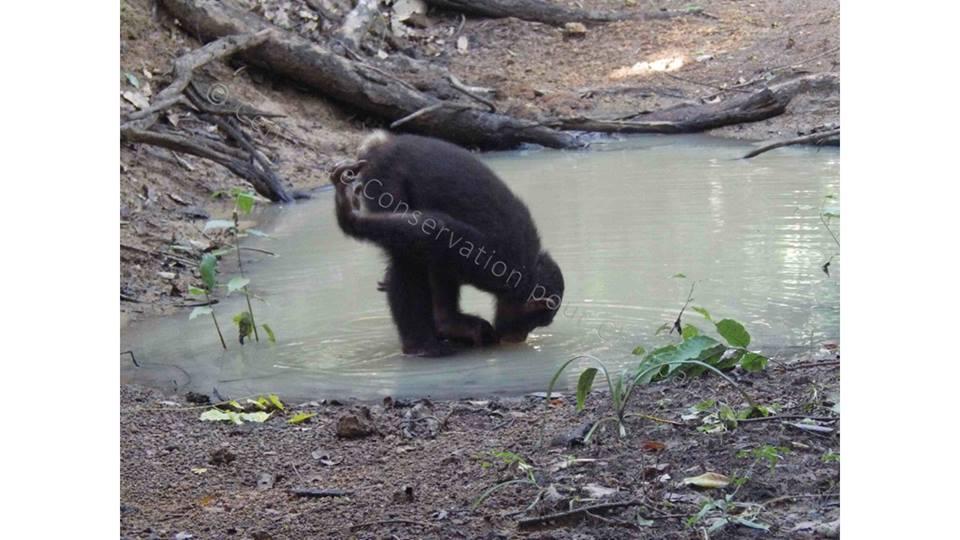 chimpanzé qui boit