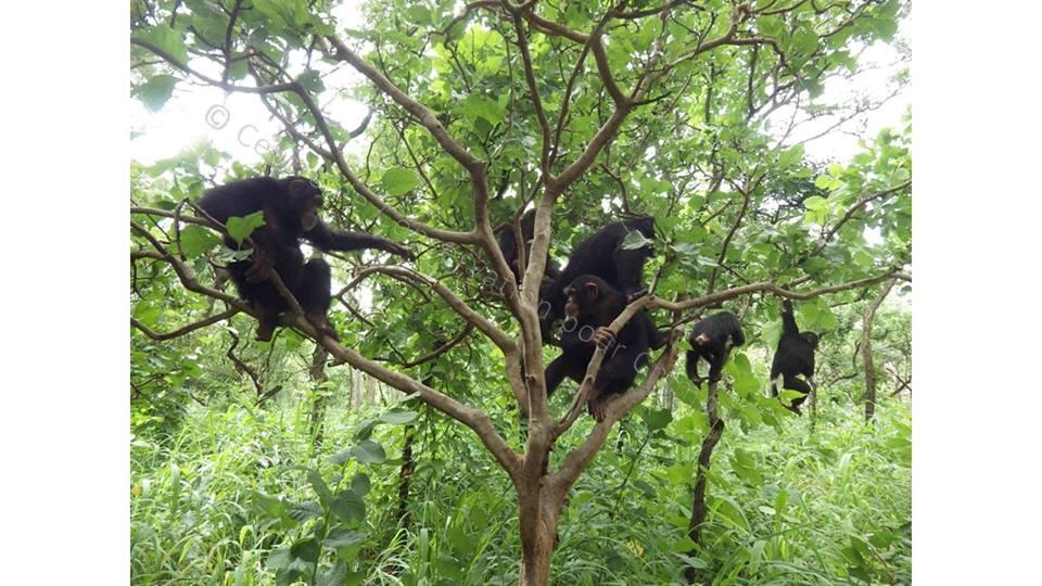 Chimpanzés perchés