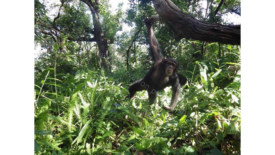 Chimpanzé dan les arbre