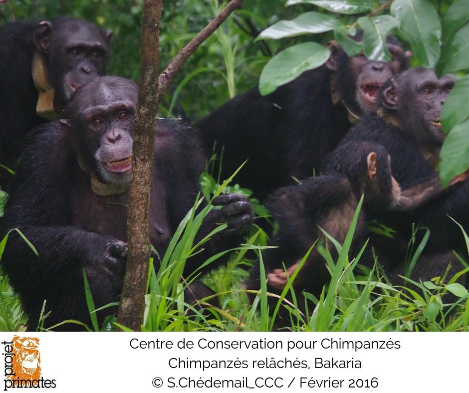 Bakaria chimp FR